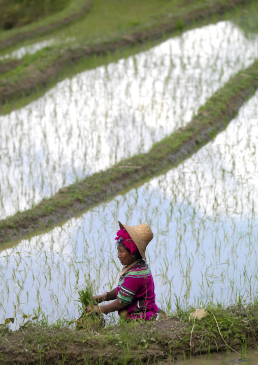 Hani Woman Working In Rice Terraces, Yuanyang, China