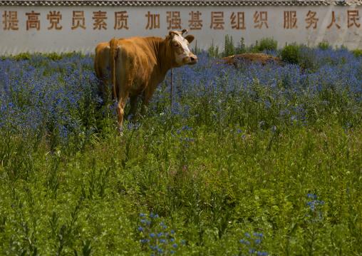 Cow In A Field, Lijiang, China