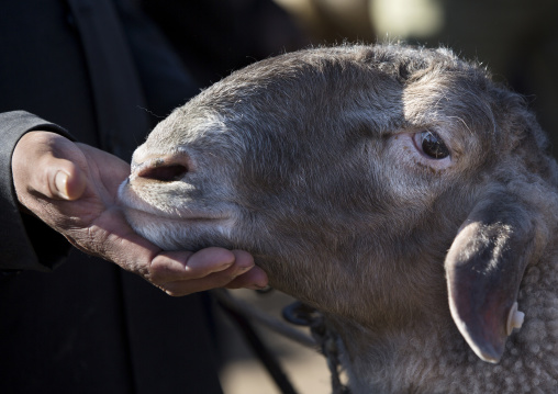 Uyghur Man holding a sheep head In Kashgar Animal Market, Xinjiang Uyghur Autonomous Region, China