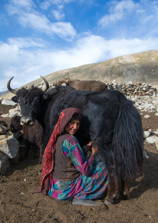 Wakhi nomad woman milking a yak, Big pamir, Wakhan, Afghanistan