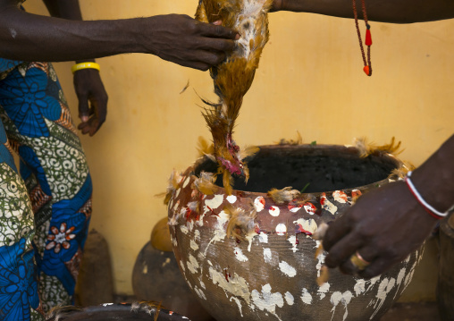 Benin, West Africa, Bonhicon, the slaughter of a chicken in a ritual sacrifice during a voodoo ceremony runned by kagbanon bebe priest