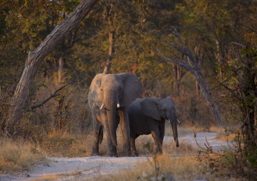 Elephants In Moremi Wildlife Reserve, Botswana
