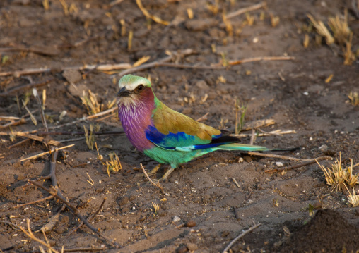 Lilac Breasted Roller, Chobe National Park, Okawango, Botswana