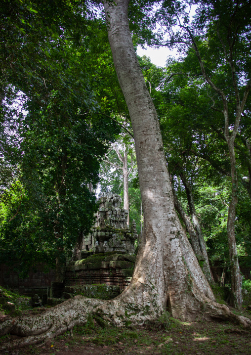 Temple overgrown with tree roots, Siem Reap Province, Angkor, Cambodia