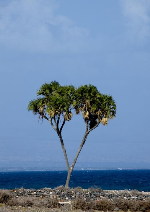 Doum Palm, Tajourah, Djibouti