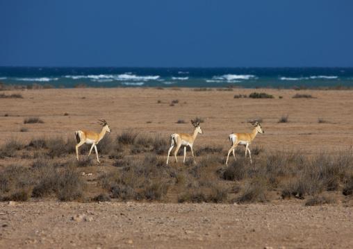 Springboks Near The Red Sea, Obock, Djibouti