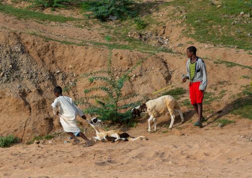 Eritrean boys going to the livestock market, Gash-Barka, Agordat, Eritrea