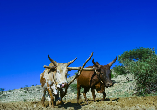 Man Ploughing Parched Field With Two Oxen, Asmara, Eritrea