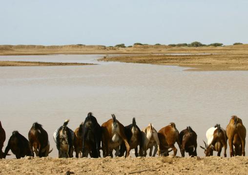 Goats Drinking In Danakil Desert, Eritrea