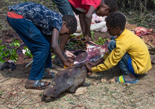 Harari children cutting the meat of a dead camel for a muslim celebration, Harari Region, Harar, Ethiopia