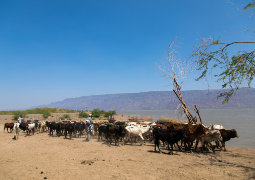 Cattle going to drink in afambo lake, Afar Region, Afambo, Ethiopia