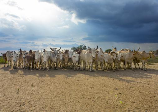 Hamar Tribe Cattle At Bull Jumping Ceremony, Turmi, Omo Valley, Ethiopia