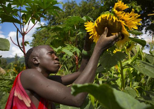 Suri man harvesting a sunflower, Tulgit, Omo valley, Ethiopia