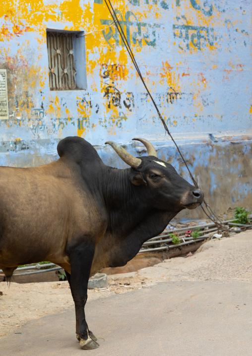Indian zebu in the street, Rajasthan, Bundi, India