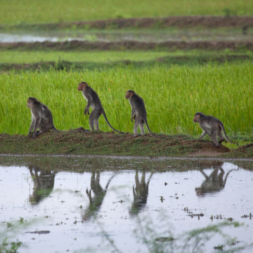 Group Of Monkeys In Single File, Thanjavur, India