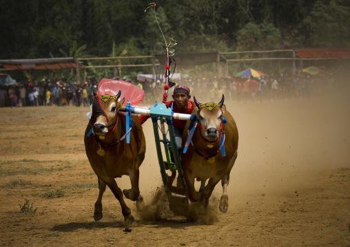 Bul races in madura island, Java  indonesia