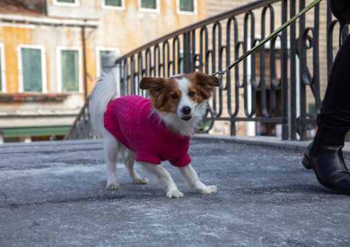 Cute baby dog with pet clothing in the street looking at camera, Veneto, Venice, Italia