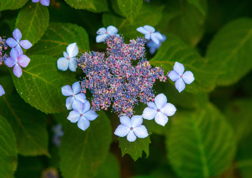 Hortensia flower, Kansai region, Kyoto, Japan