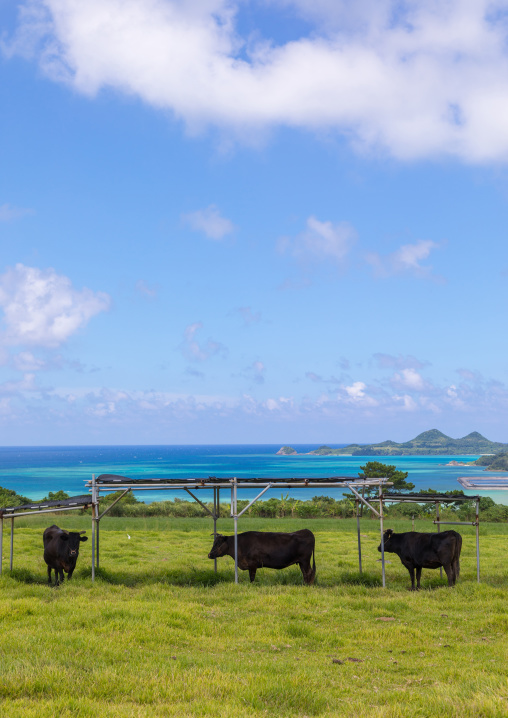 Beef in a farm in front of the sea, Yaeyama Islands, Ishigaki, Japan