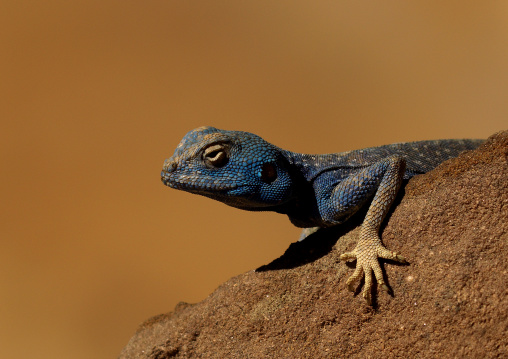Blue Lizard On Rocks, Petra, Jordan