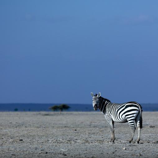 Zebra in amboseli park, Kenya