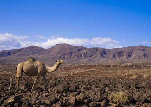 Camel on volcanic rocks, Turkana lake, Loiyangalani, Kenya