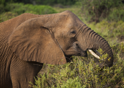 African elephant (loxodonta africana) eating grass, Samburu county, Samburu national reserve, Kenya