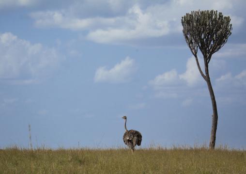 Adult female ostrich (struthio camelus), Rift valley province, Maasai mara, Kenya