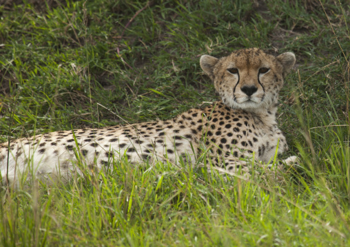 Cheetah (acinonyx jubatus) resting in the grass, Rift valley province, Maasai mara, Kenya