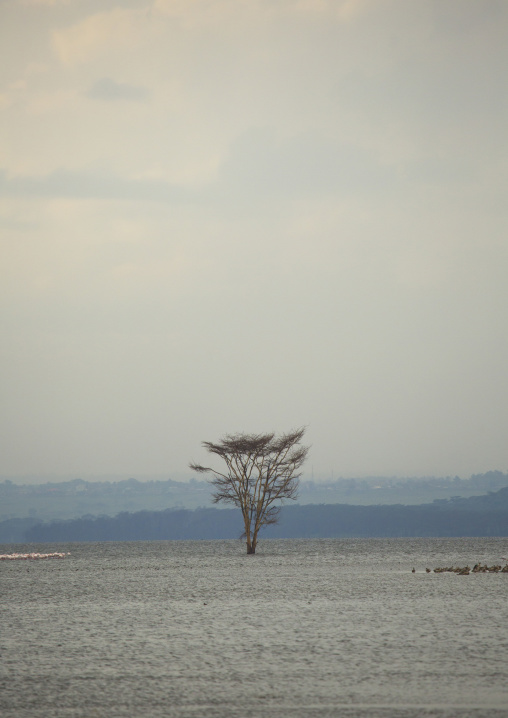 Acacia trees emerge from the surface of a flooded area, Nakuru district of the rift valley province, Nakuru, Kenya