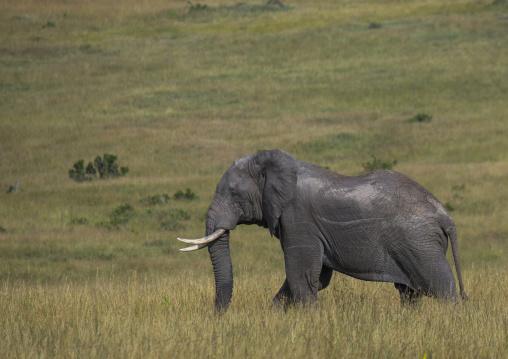 African elephant (loxodonta africana), Rift valley province, Maasai mara, Kenya
