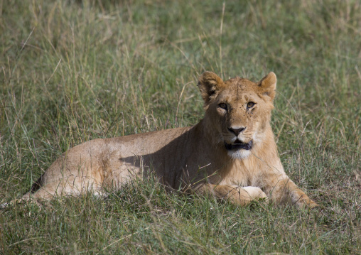 Young lion (panthera leo) resting in the savannah, Rift valley province, Maasai mara, Kenya
