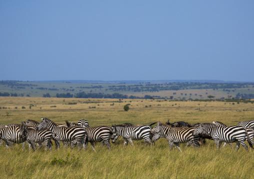 Burchells zebra (equus burchellii) herd, Rift valley province, Maasai mara, Kenya
