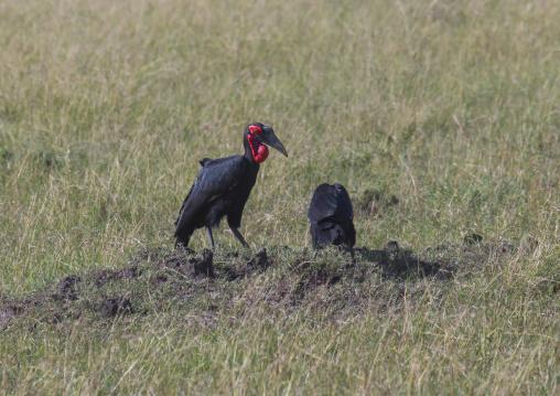 Southern ground hornbill (bucorvus leadbeateri), Rift valley province, Maasai mara, Kenya