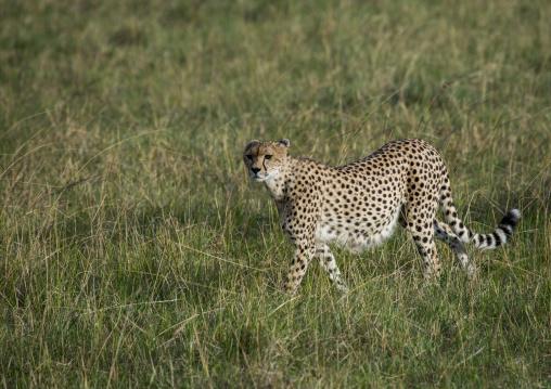 Cheetah (acinonyx jubatus) walking in the grass, Rift valley province, Maasai mara, Kenya