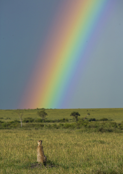 Cheetah (acinonyx jubatus) in front of a rainbow, Rift valley province, Maasai mara, Kenya