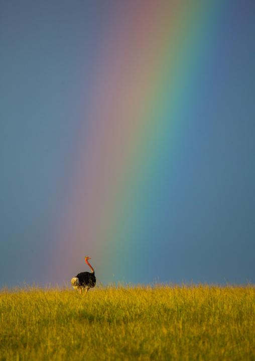 Ostrich (struthio camelus) male under a rainbow, Rift valley province, Maasai mara, Kenya