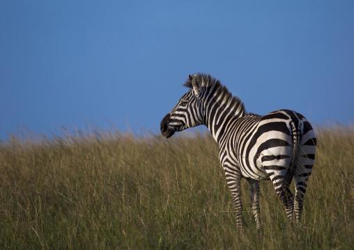 Burchells zebra (equus burchellii), Rift valley province, Maasai mara, Kenya