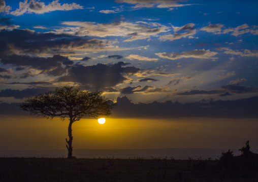 Umbrella thorn acacia at sunset, Rift valley province, Maasai mara, Kenya