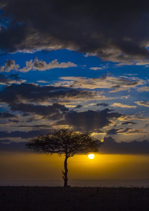 Umbrella thorn acacia at sunset, Rift valley province, Maasai mara, Kenya