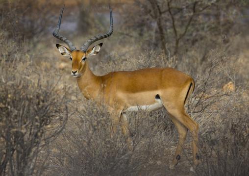 Male impala (aepyceros melampus), Samburu county, Samburu national reserve, Kenya