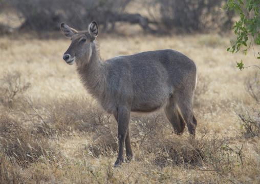 Female defassa waterbuck, Samburu county, Samburu national reserve, Kenya