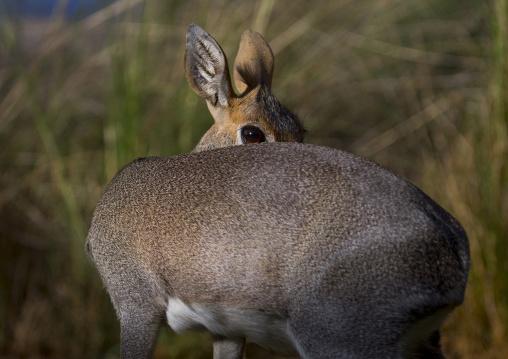 Kirk's dik-dik, Samburu county, Samburu national reserve, Kenya
