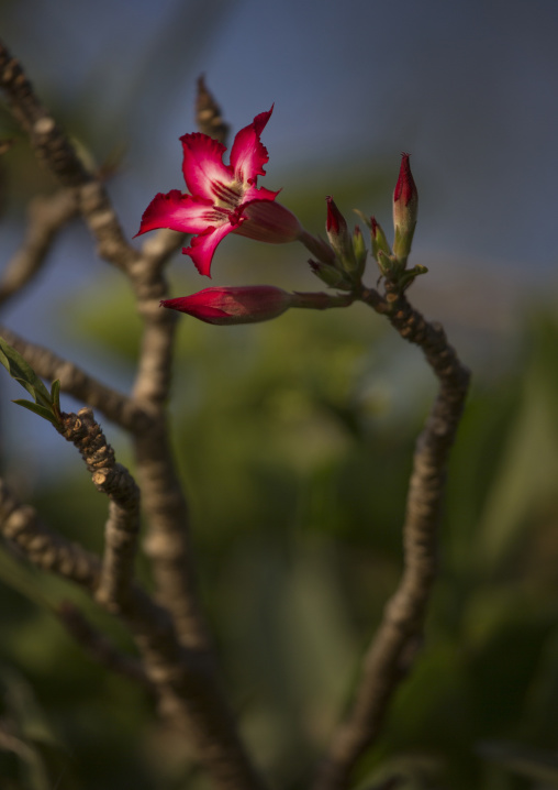Bottle tree (pachypodium rosulatum) flower, Baringo county, Baringo, Kenya