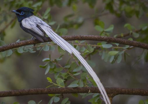 Paradise flycatcher, Baringo county, Lake baringo, Kenya