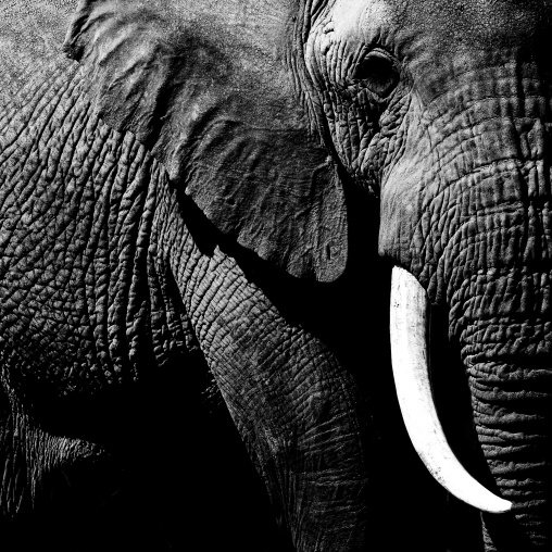 Elephant amboseli park, Kenya