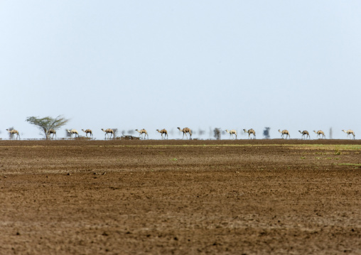 Camels in chalbi desert, Kenya