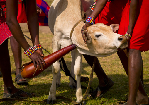 Masai warriors taking blood from a cow, Nakuru county, Nakuru, Kenya