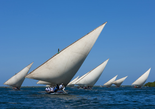Steerage of dhows during the dhow race , Maulidi festival, Lamu, Kenya