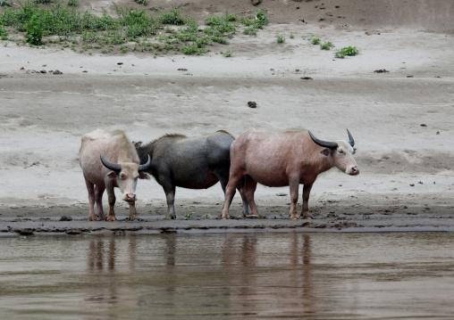 Albino buffalos on mekong river, Houei xay, Laos